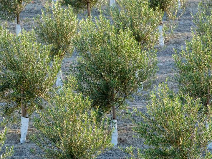 Как садить оливковые деревья