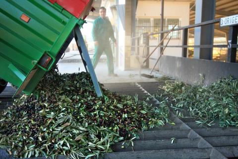 Выгрузка урожая оливок в Испании